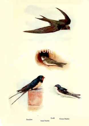 Swift, Swallow, Sand Martin & House Martin